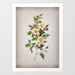 Vintage Thornless Burnet Rose Botanical on Parchment Art Print
