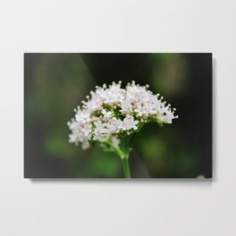 Tiny white garden flowers Metal Print