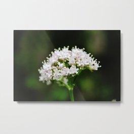 Tiny white garden flowers Metal Print