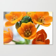 Ornithogalum, the flower of hope Canvas Print
