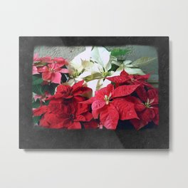 Mixed color Poinsettias 3 Blank P4F0 Metal Print