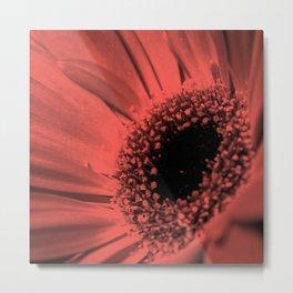 Gerbera flower . Metal Print