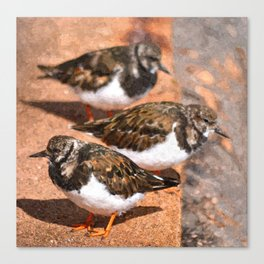 Trio of Turnstones Canvas Print