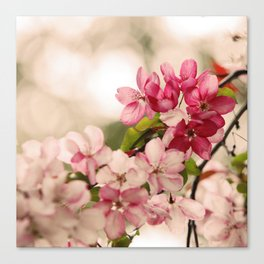 Cherry Pink Blossoms bursting with Spring Canvas Print