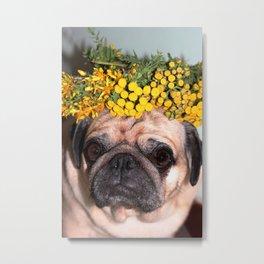 Happy pug Metal Print