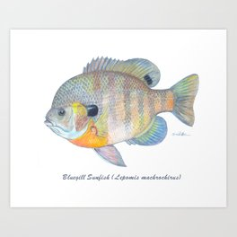 Bluegill Sunfish Art Print