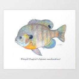 Bluegill Sunfish Art Print