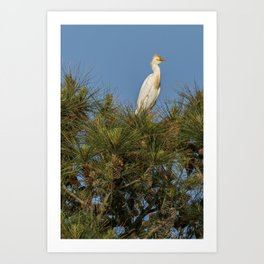 Cattle Egret Perched on Tree Art Print