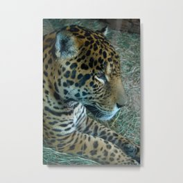 Leopard waiting/wishing for her freedom Metal Print