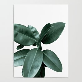 Rubber fig Plant Poster