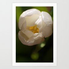 White Tulip from Above Art Print