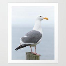 Western Gull Art Print