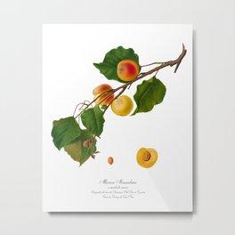 Apricot, Albicocca Alessandrina a Mandorla Amara, Armeniaca Alexandrina, Antique Print, by Giorgio Gallesio Metal Print