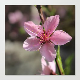 Pink Chinese Flower Canvas Print