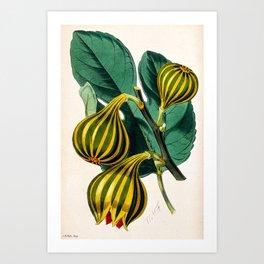 Fig plant, vintage illustration Art Print