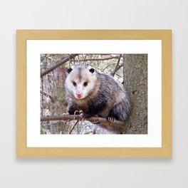 Possum Staredown Framed Art Print