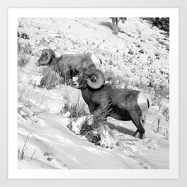 2 Amazing Bighorn Sheep in Black and White by OLena Art for #Society6 Art Print