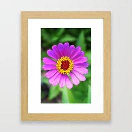 Zinnia Lavender Gradation Framed Art Print