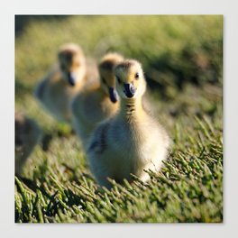 Goslings On The March | Bird | Babies | Canada Goose Canvas Print
