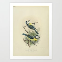 Vintage Print - A History of the Birds of Europe (1881) - 660 White-Bellied & Canarian Blue Titmouse Art Print