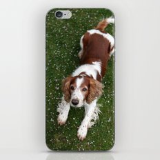 Welsh Springer Spaniel - Scott iPhone & iPod Skin
