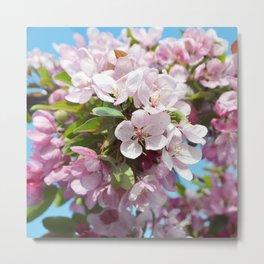 Apple Blossoms Spring Photography Prints  Metal Print
