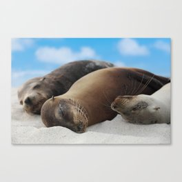 Galapagos Sea lions family sleeping on beach Canvas Print