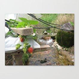 Malaysia - Cameroon Highland Strawberry Farm Canvas Print