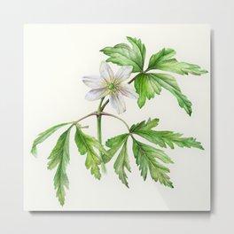 White wood anemone botanical watercolor art Metal Print