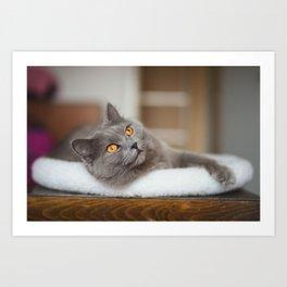 Chartreux cat Art Print