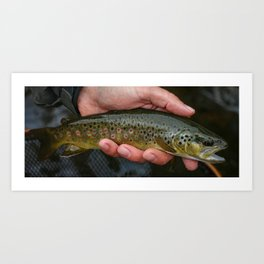 Colorado Brown Trout Art Print