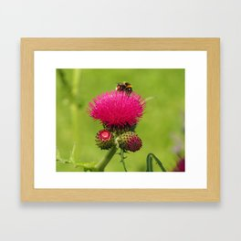 Bee on a Pink Thistle Framed Art Print