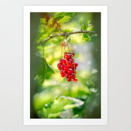 Red currant bunch Art Print
