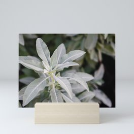 Botanical Photo II | Salvia Apiana Plant | USA | Photography | Green | Minimalistic | Art Print Mini Art Print