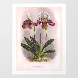 Twin Purple Vintage Orchids Cypripedium Moensianum Art Print
