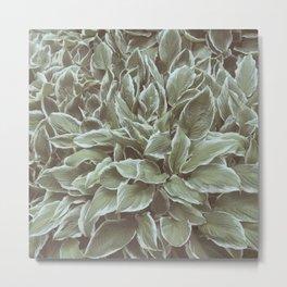 Green Leaves Plant, Hosta Metal Print