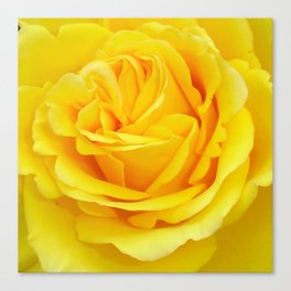 Beautiful Yellow Rose Closeup Canvas Print