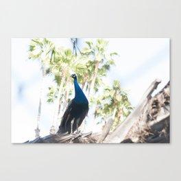 Fine Art Peacock Wildlife Animal Southern California Colored Print Canvas Print