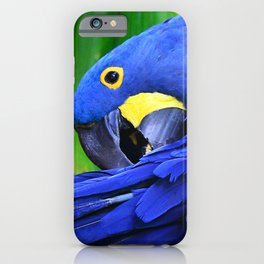 Hyacinth Macaw Preening Its Luxurious Purple Feathers iPhone Case