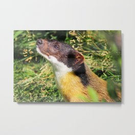 Yellow-throated Marten 1 Metal Print
