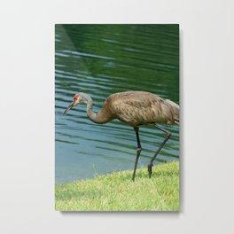 Sandhill Crane Next to a Lake Metal Print