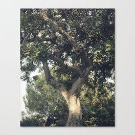 Carob tree Canvas Print