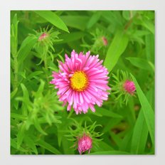 little aster Canvas Print