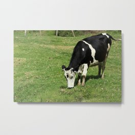 Cow With Horns Grazing Metal Print