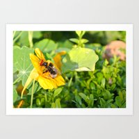 Bumble Bee on Nasturtium Art Print