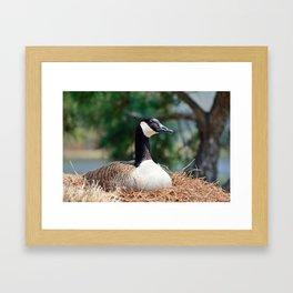 Nesting Canadian Goose Framed Art Print