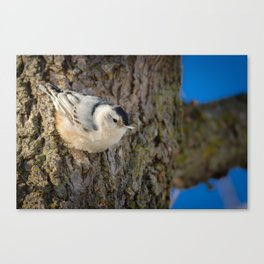 Nuthatch: The Acrobat Canvas Print