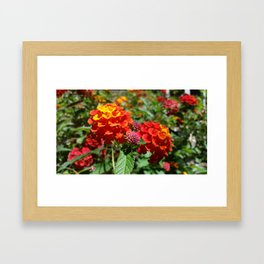 NoCal Lantana Camara Framed Art Print