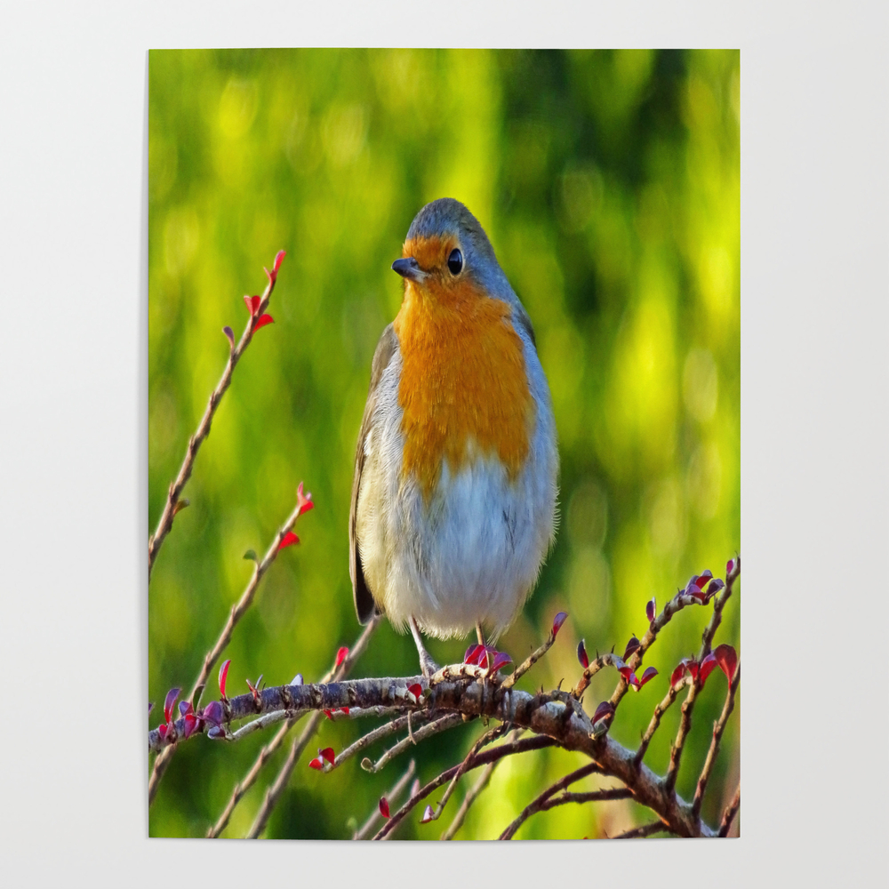 Robin Redbreast Poster by Catherineogden (POS8331014) photo