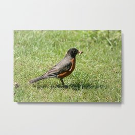 American Robin Holding a Worm Metal Print